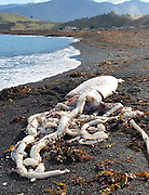 Calamari anyone? A giant squid with tentacles as long as FIVE metres washes up on New Zealand beach.... and is now on display in a glass freezer<br /> <br /> A man spotted an unusual sight on his morning stroll along the beach when an incredible giant squid was washed up on the shore.<br /> Staff from the Kaikoura Marine Centre and Aquarium moved the squid to safety before the birds swooped down and feasted on its enormous body lying on the sand at South Bay on the South Island of New Zealand on Wednesday.<br /> It was not yet known what the deep sea creature weighs but if the following measurements are anything to go by it is safe to presume it would be seriously hefty: the mantle is more than two metres long with a 19cm eye diameter and the longest tentacle is just over five metres.<br /> <br /> Staff from the Kaikoura Marine Centre and Aquarium moved the squid to safety before the birds swooped down and feasted on its enormous body. <br /> The excited aquarium staff posted the dramatic images on its Facebook page on Tuesday afternoon.<br /> 'A GIANT SQUID WASHED UP ON THE BEACH AT SOUTH BAY TODAY!, the post said.<br /> 'Before the birds got to it - we got help to move it to the aquarium where it is safe inside a freezer with glass windows so you can see it - on display until we can do more with it.'<br /> Then after describing its length the staff member exclaimed: 'What a beast!'. <br /> <br /> Bruce Bennett discovered the squid on his daily walk with his dog at 8.30am on Wednesday and figured the creature must have washed up on Tuesday night - going by the stench and the fact that he didn't see it that day.<br /> Mr Bennett said it was the first time he had ever seen a giant squid washed ashore on the beach.<br /> ©Kaikoura Marine Centre/Exclusivepix Media