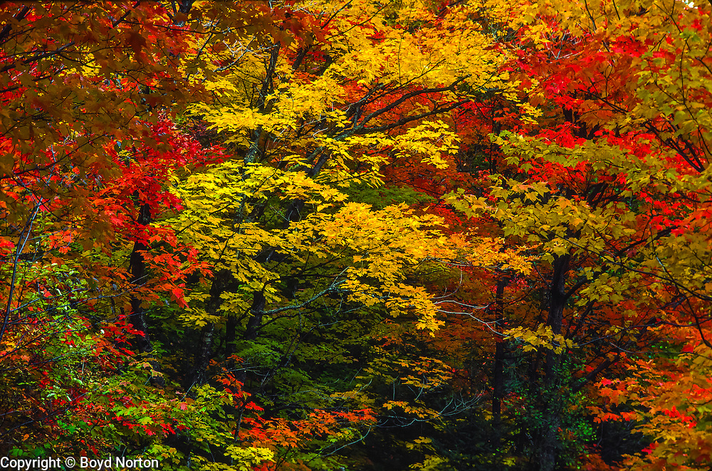 Autumn foliage in Eastern hardwood forest, Vermont.