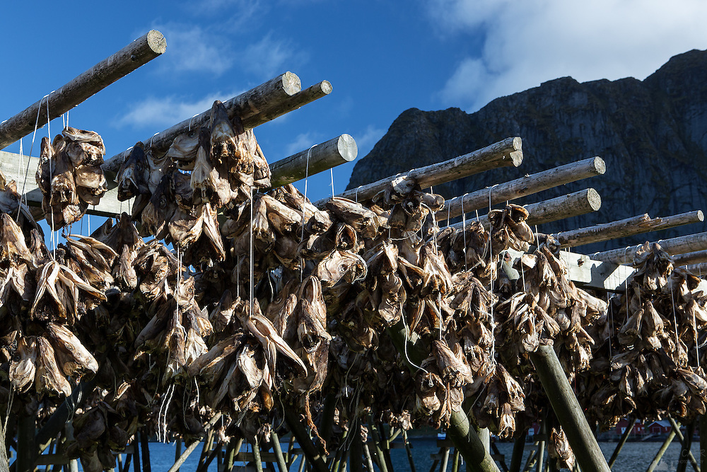 Images from the Lofoten Islands in arctic Norway at midsummer. These are cod heads drying before being exported to Nigeria. They can be found hanging all over the islands