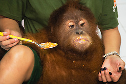 A critically endangered Sumatran orangutan sub-adult (Pongo abelii) who was rescued from illegal pet traders after his mother was killed, is now safe at the Veterinarian center and nursery  at the Sumatran Orangutan Conservation Program's Care Center in Medan, where he needs to live until he is old enough to be released safely back into the wild, Medan, Sumatra, Indonesia