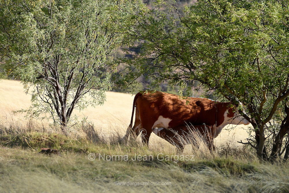 Cattle graze on open range, Coronado National Forest, Santa Rita Mountains, Sonoita, Arizona, USA.