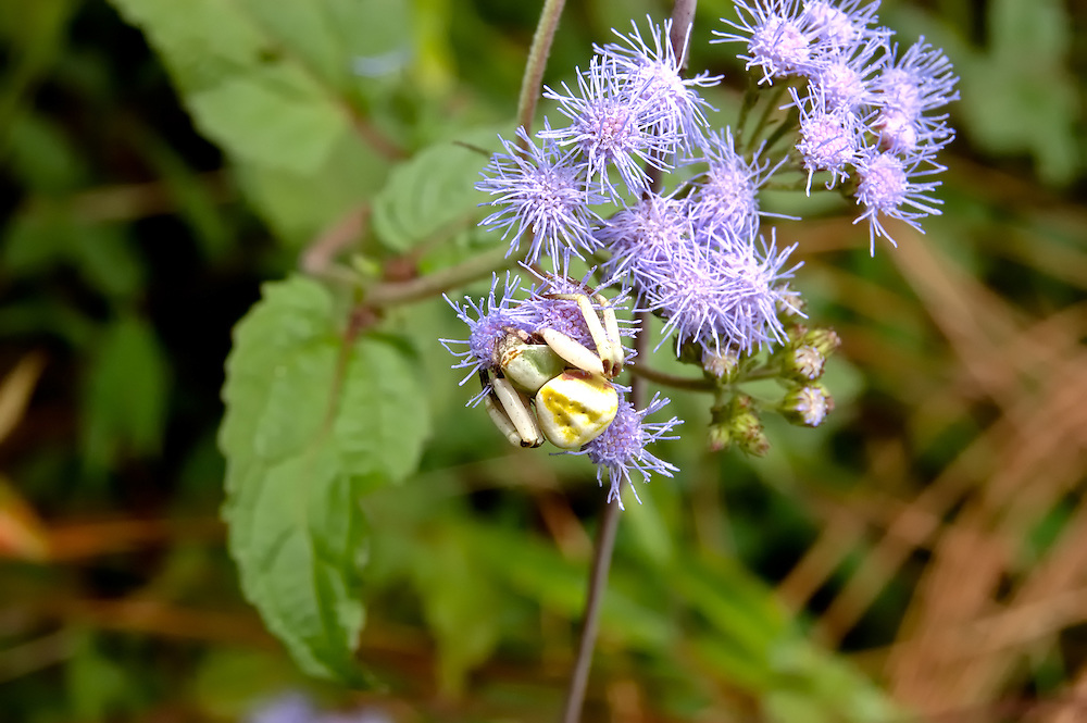 I almost missed this little crab spider while hiking through rural Washington County on the Florida Panhandle.