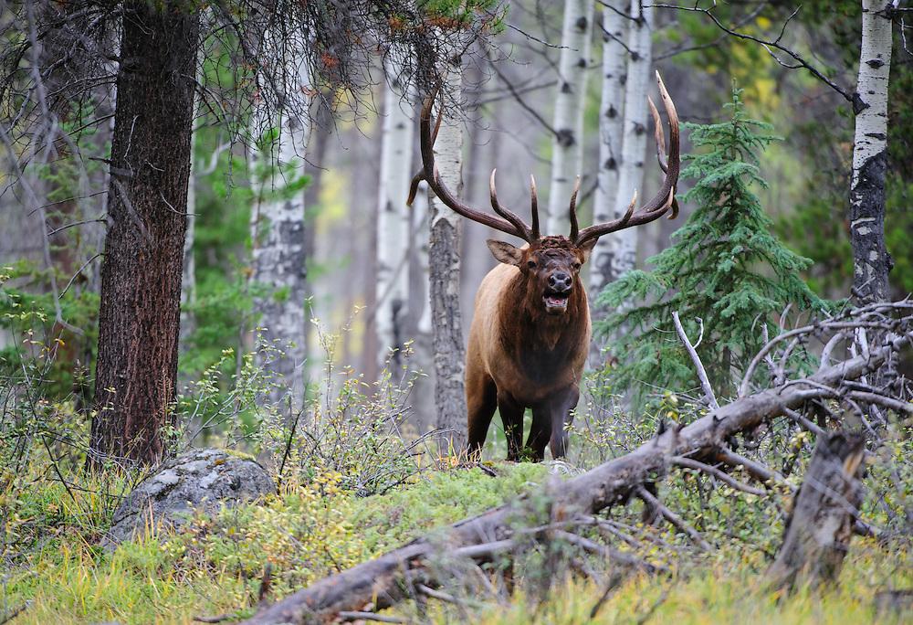 A bull elk (Cervus elaphus canadensis) in a forest, Rocky Mountains