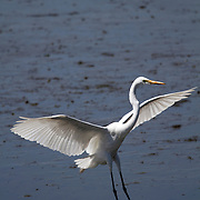 Great Egret, Ardea alba, landing in a saltmarsh. Edwin B. Forsythe National Wildlife Refuge, New Jersey, USA