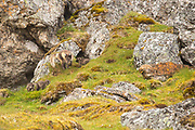 Arctic Fox (Vulpes lagopus) adult and pups in summer pelage, in the tundra Spitsbergen, Svalbard, Norway