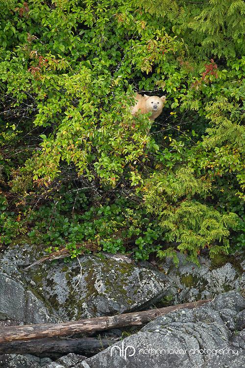 Spirit Bear climbing in crab apple trees along BC coastline;  British Columbia in wild.