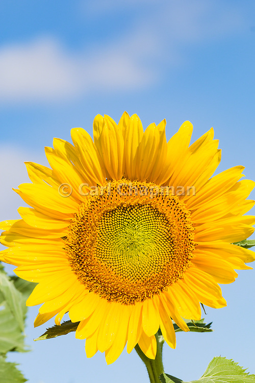 Flowering sunflower in field in summer morning sun near Ryeford, Queensland, Australia <br />