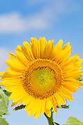 Flowering sunflower in field in summer morning sun near Ryeford, Queensland, Australia