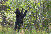 Black Bear enjoying some berries in Grand Teton National Park