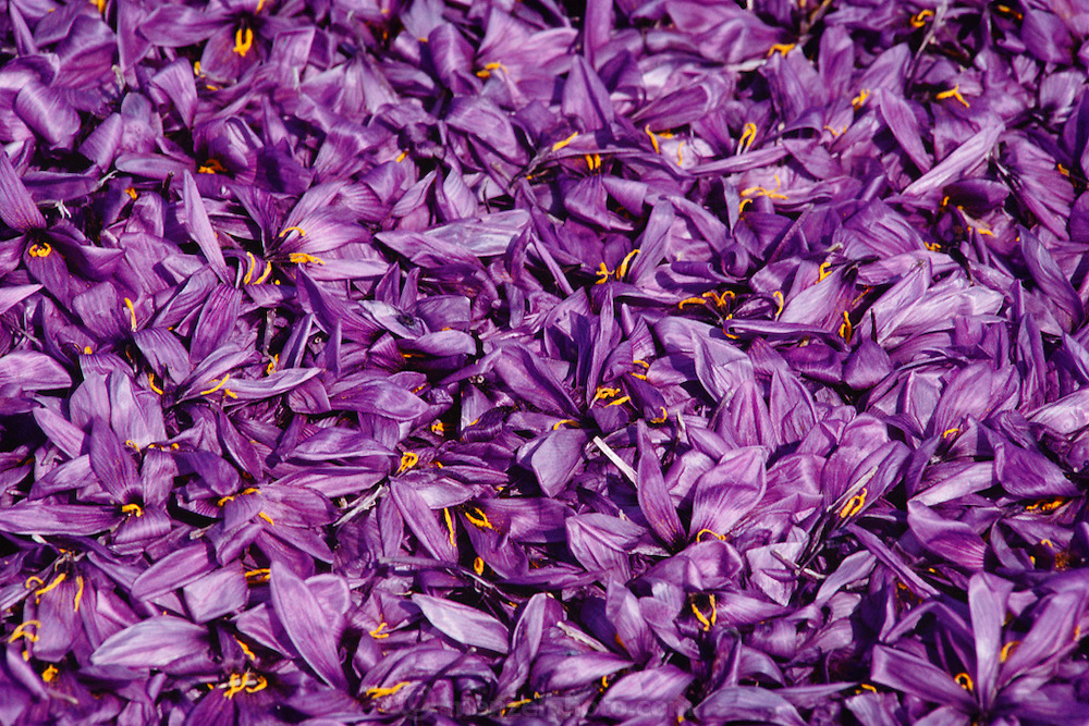 Freshly picked saffron crocus flowers in Consuegra, La Mancha, Spain. Saffron has been the world's most expensive spice by weight for decades. The flower has three stigmas, which are the distal ends of the plant's carpels. These are separated from the petals by hand and dried to make saffron spice.