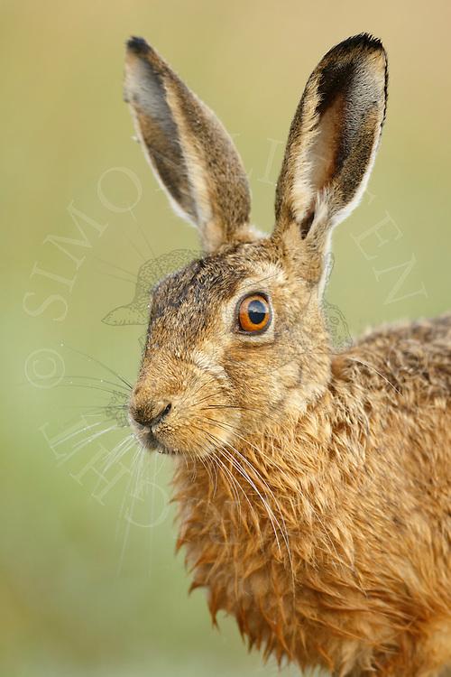 European Hare (Lepus europaeus) adult, close up of head, Norfolk, UK.