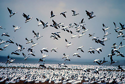 A flock of snow geese (Chen caerulescens) taking off from the water