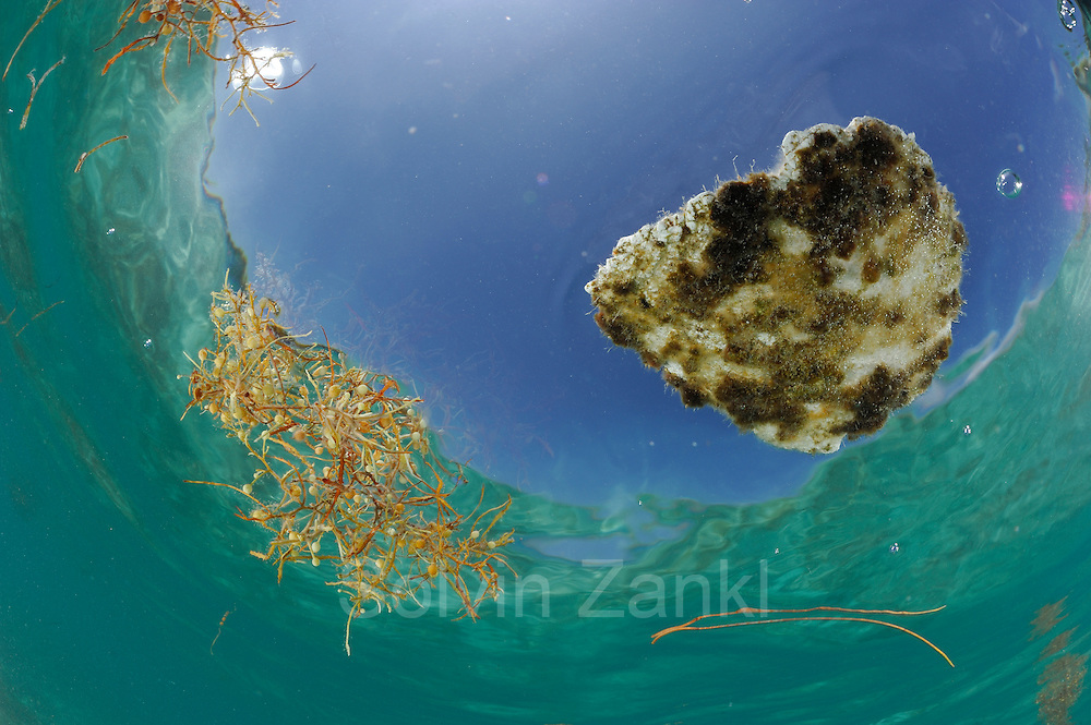 Floting plastic and Common Sargasso Weed or Common Gulfweed (Sargassum natans) Sargassum Community. Sargasso Sea, Bermuda