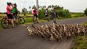 Cyclists watch boy herding ducks, Bali, Indonesia.