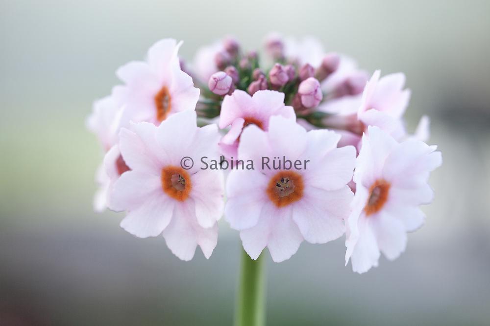 Primula japonica 'Apple Blossom' - Japanese primrose