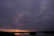 Waterfowl flock at sunrise. Lower Klamath Basin National Wildlife Refuge, California.