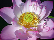 Close up of a pink lotus flower with a fly on one of the petals.  It is fully open showing its yellow interior seed pod.<br /> © Laurel Smith