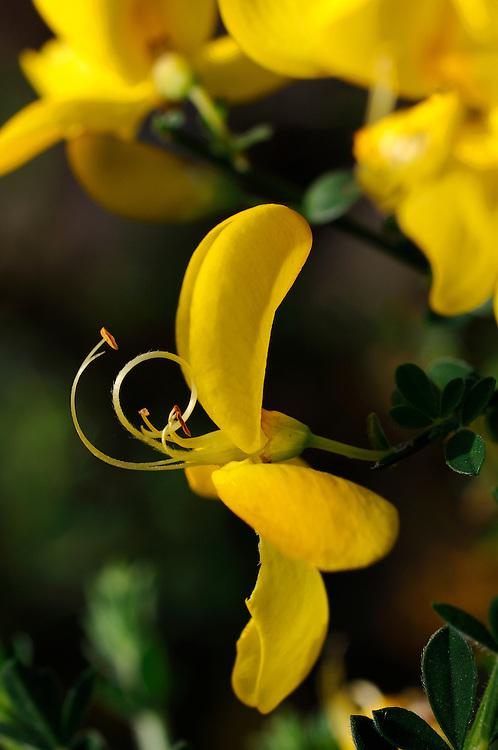 France, Languedoc Roussillon, Gard (30), Cevennes, fleur de Genêt à balai, N.L.: Cystisus scoparius, ( Fabacées, légumineuse)