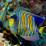 Regal Angelfish inhabit reefs. Picture taken Solomon Islands, Mary Island