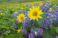 Balsamroot (Balsamorhiza deltoidea) and Lupines (Lupinus latifolius x sericeus var. latifolius), Dalles Mountain Ranch in the Columbia Hills, Columbia River Gorge National Scenic Area, Washington