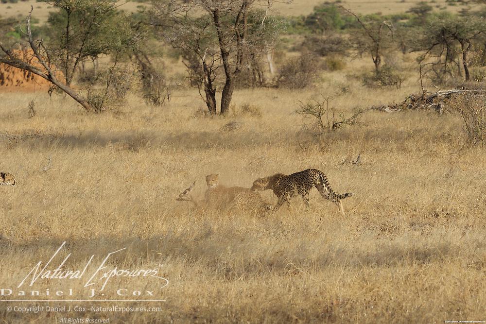 Cheetah, two young cheetah pounc on a baby grants gazelle. Samburu National Reserve, Kenya