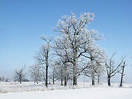 A Stand Of Trees Under A Blue Sky On A Sunny Winters Day In Farm Country With Snow Covering Everything Including The Limbs, Southwestern Ohio, USA : Low Res File - 8X10 To 11X14 Or Smaller, Larger If Viewed From A Distance