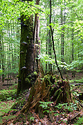 Baumstumpf im Wald, Zwieseler Waldhaus, Bayerischer Wald, Bayern, Deutschland | stump in forest, Zwieseler Waldhaus, Bavarian Forest, Bavaria, Germany