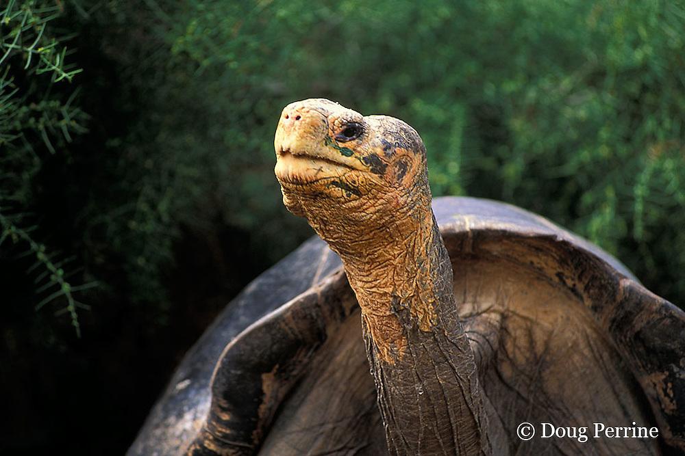 Galapagos giant tortoise, Geochelone nigra ( elephantopus ), Santa Cruz Island, Galapagos Islands, Ecuador, ( Eastern Pacific )