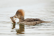 Stock Photo of hooded merganser captured in Colorado.  The smallest of the mergansers, these birds are very agile swimmers.  But they are very awkward on land because their legs are set far back on their body.