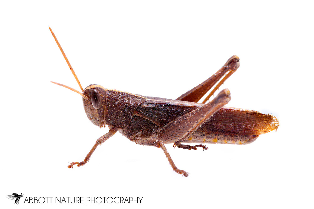 Mischievous Bird Grasshopper (Schistocerca damnifica)<br /> TEXAS: Jasper Co.<br /> Brookeland/Lake Sam Rayburn @ 505 Co Rd 212<br /> 10.June.2015<br /> J.C. Abbott #2739 &amp; K.K. Abbott
