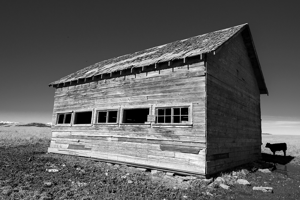 Calf next to an old barn on Oregon's Zumwalt Prairie with the Wallowa Mountains in the distance.