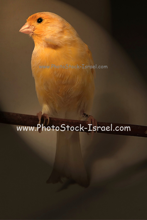 A Canary, Serinus canaria, perched on a branch