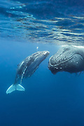 Humpback Whale<br /> Megaptera novaeangliae<br /> Mother and three-week-old calf<br /> Tonga, South Pacific