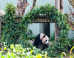 "Yang Guang, Edinburgh Zoo's male giant panda, celebrated his 10th birthday today with a large bamboo sculpture ""10"", which has been created by the Zoo's own gardening and grounds teams."