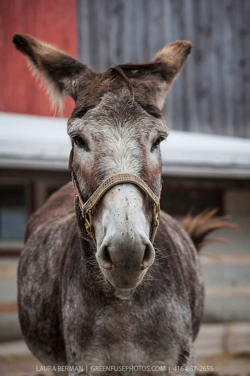 Joey at the Primrose Donkey Sanctuary, Roseneath, Ontario