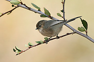 Bushtit - Psaltriparus minimus - Adult male
