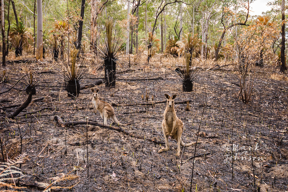 2 Eastern Gray Kangaroos in burnt out forest fire area, Carnarvon Gorge National Park, Queensland, Australia
