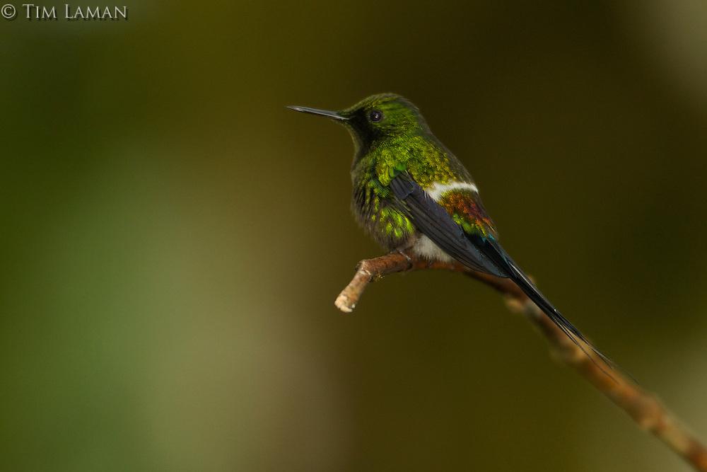 Green Thorntail Hummingbird (Popelairia conversii)<br /><br />Milpe Cloudforest Reserve, Ecuador