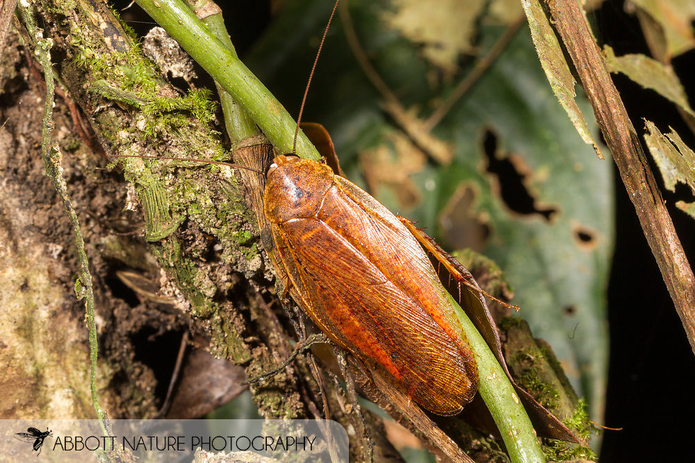 Cockroach<br /> Peru: Departamento de Madre de Dios Co.<br /> Refugio Amazonas on the Tambopata River<br /> 30-Jul-2016<br /> J.C. Abbott #2857 &amp; K.K. Abbott