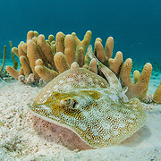 A yellow stingray over the seabed of sand and finger coral.