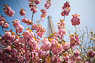 Trees bloom during springtime in Paris next to the iconic Eiffel Tower