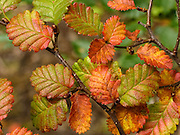 "Lenga (Nothofagus, or Southern Beech) leaves turn red, gold, and yellow in late summer and fall, in Tierra del Fuego National Park, Ushuaia, Argentina, South America. The foot of South America is known as Patagonia, a name derived from coastal giants, Patagão or Patagoni, who were reported by Magellan's 1520s voyage circumnavigating the world and were actually Tehuelche native people who averaged 25 cm (or 10 inches) taller than the Spaniards. Published in ""Light Travel: Photography on the Go"" book by Tom Dempsey 2009, 2010."