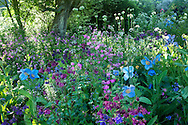 Early morning light filtering through tree underplanted with Meconopsis grandis, Aquilegia vulgaris and alliums