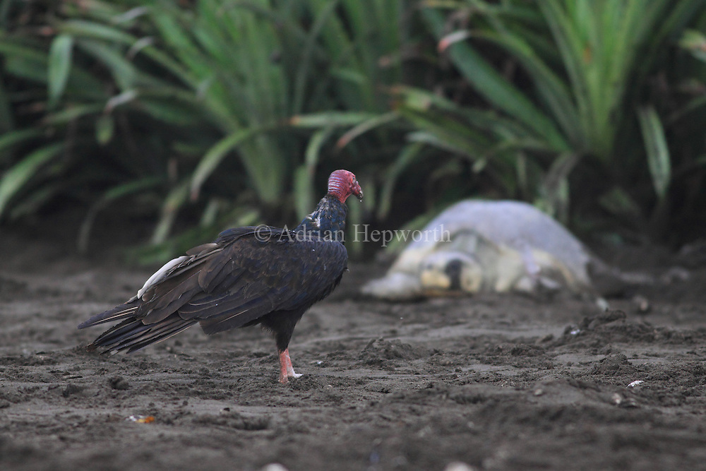 Turkey Vulture (Cathartes aura) watches Olive Ridley Turtle (Lepidochelys olivacea) lay eggs during arribada. Playa Ostional, Guanacaste, Costa Rica.<br />