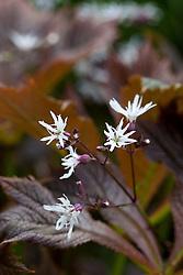 Lychnis flos-cuculi var. albiflora growing up through a rodgersia