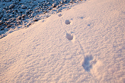 Canine tracks in fresh snow on the New Hampshire coast in Odiorne State Park in Rye, New Hampshire.  Winter.