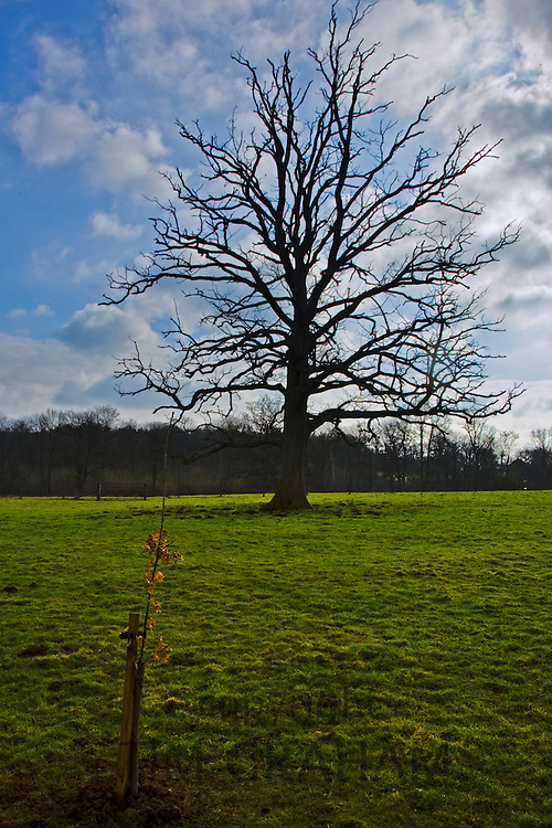 Oak tree sapling and dying oak tree in Oxfordshire  meadow, Bruern, The Cotswolds, United Kingdom
