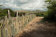 Datu Candle Cactus Fence (Ritterocereus griseus)<br /> BONAIRE, Netherlands Antilles, Caribbean<br /> HABITAT & DISTRIBUTION: Traditional datu cactus fences reduce run-off rates and transport of sediment and nutrients on hillsides in Bonaire. The cactus scrub ecoregion is located on the islands of Aruba, Bonaire, and Curaçao (sometimes called the A-B-C's) in the southern Caribbean Basin.
