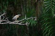 Striated Heron (Butorides striata)<br /> Yasuni National Park, Amazon Rainforest<br /> ECUADOR. South America<br /> HABITAT & RANGE:  Wetlands in the Old World tropics from west Africa to Japan and Australia, and in South America.