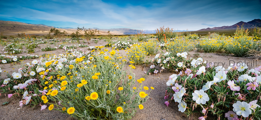Spring wildflowers in full bloom near Eureka Dunes, Death Valley National Park, California